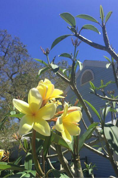 Frangipani growing in Florida