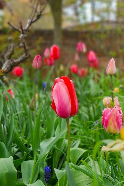Tulips in meadow grass