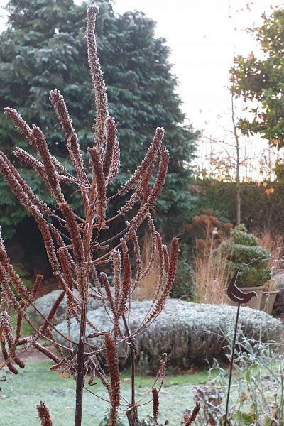 Frosty seedheads in winter