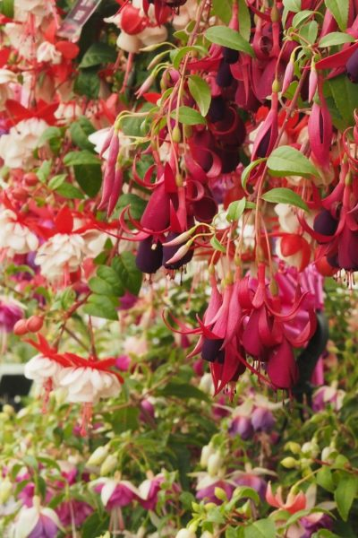 Fuschias are shrubs
