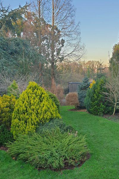 Conifers in the Lime Cross Nurseries garden