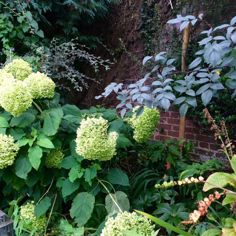 Are hydrangeas 'medicinal plants'?