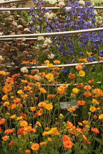 Geums from Hardy's Plants - 2020 garden trends for long flowering flowers