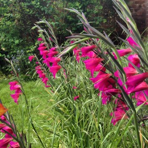 Wild gladioli and lawn grass gone to seed.