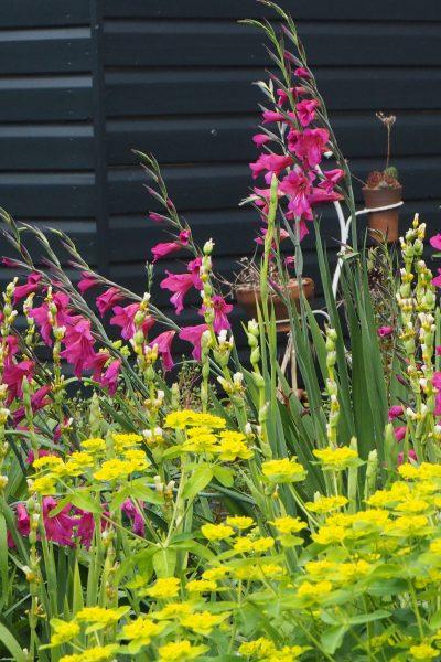 Gladioli communis and euphorbia oblongata are vigorous self-seeding plants