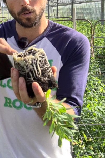 planting alstromerias