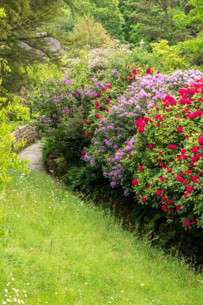 Banks of rhododendrons at Gravetye Manor