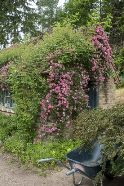 Shed covered in clematis 'Broughton Star.'