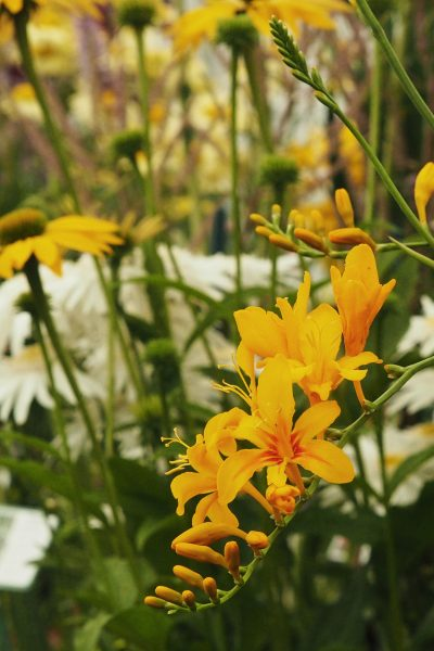 bright yellow crocosmia from Hardys Plants.