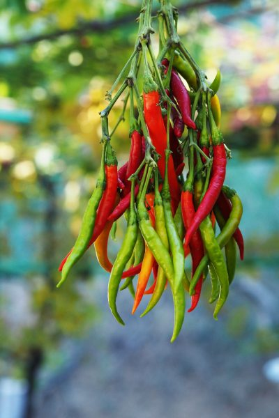 Dry chillies in a light, well ventilated place