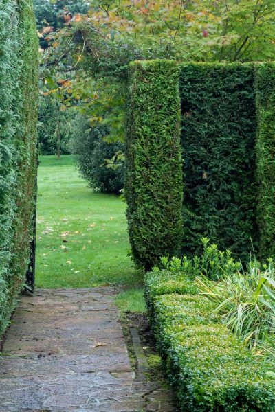 Clipped conifer hedge