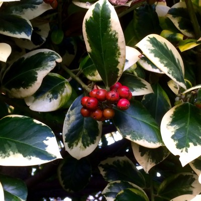 Freeze holly berries for decorations