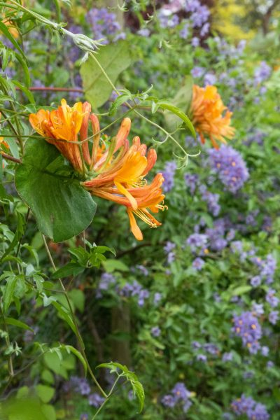 Orange honeysuckle and blue solanum contrast with each other.