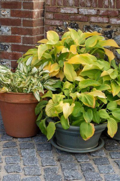 Grow hostas in pots