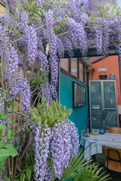 Blue wisteria with coloured walls
