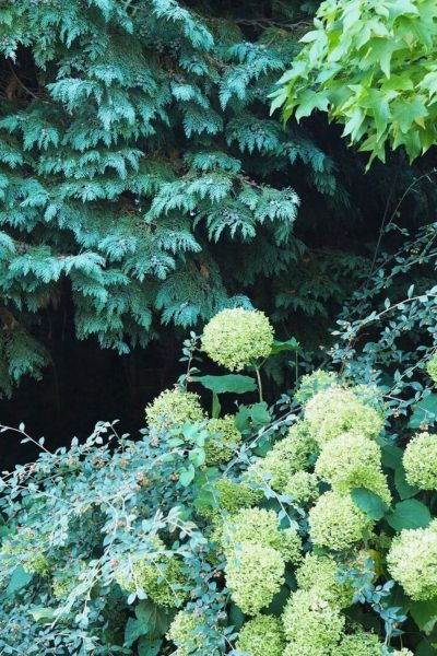 Hydrangea arborescens Annabelle for shady borders
