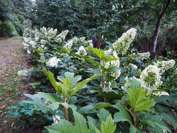 Use hydrangeas as a hedge #gardendesign