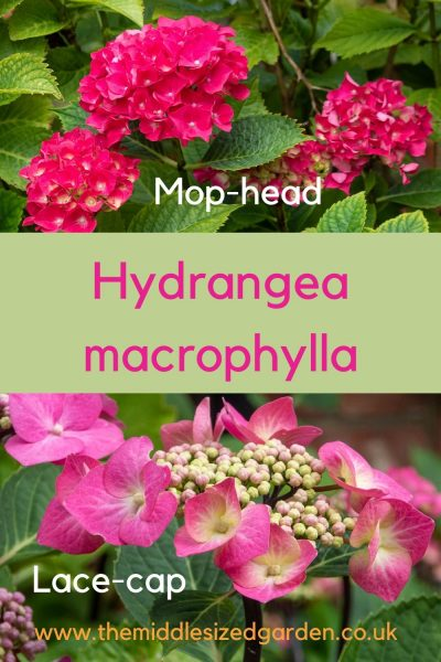 The difference between mop head and lace cap hydrangeas