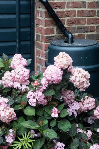 Water hydrangeas in pots
