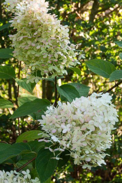 Hard prune paniculata hydrangeas