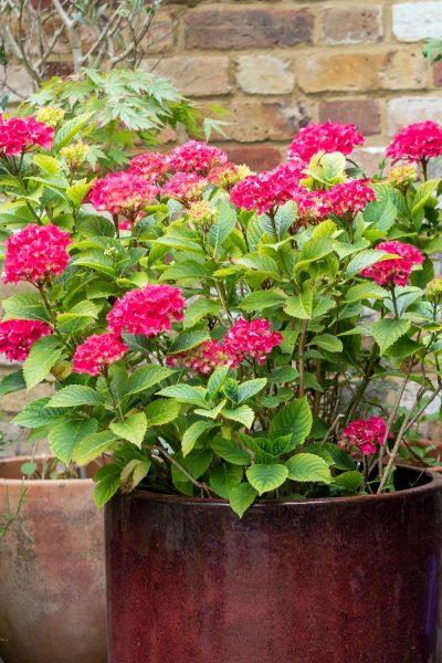 Hydrangeas do well in pots