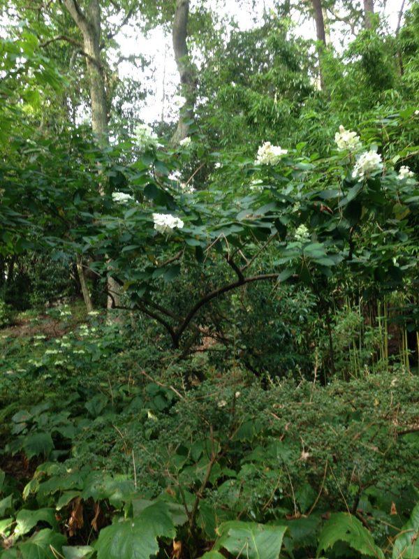 Hydrangeas transparently pruned