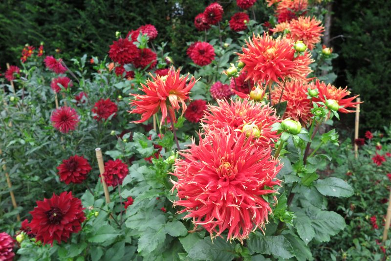 How to use vibrant red and orange dahlias