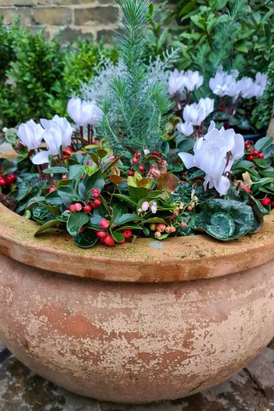 Winter pots with cyclamen, gaultheria and stone pine