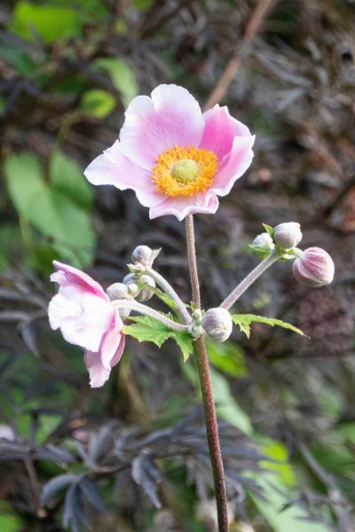 Japanese anemones spread from small roots and help stifle weed growth but can be invasive.