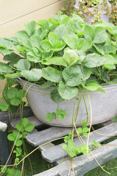 Grow strawberries on a roof garden