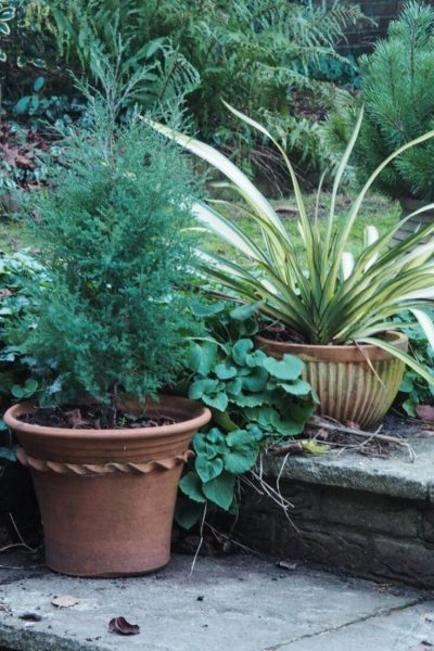 Juniper evergreen tree for pots