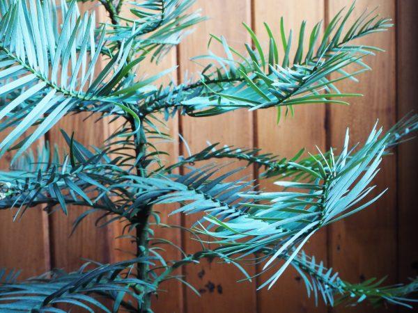 Wollemi pine and Kauri pine