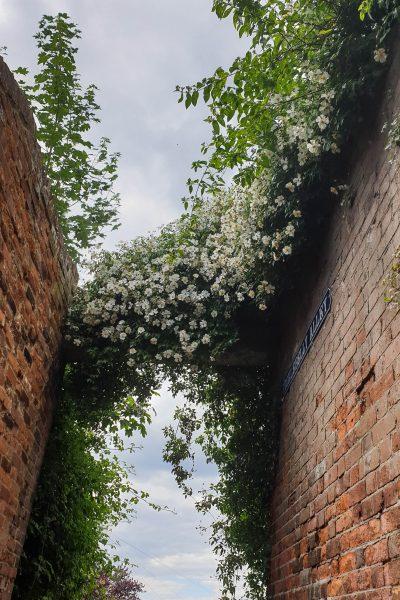 Kiftsgate rose on wall