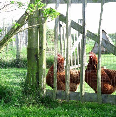 Hens in Kylie's garden