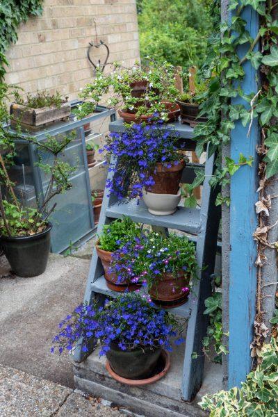 Blue lobelia in pots