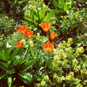 Ballerina tulips and lamium