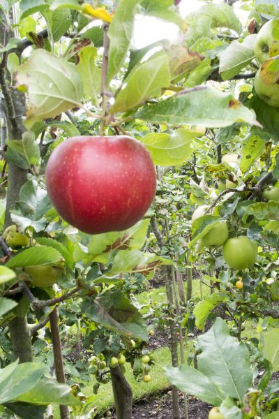 How to plant a mini orchard for a small garden