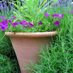 Panicum virgatum 'Shenandoah' for a low-maintenance garden pot
