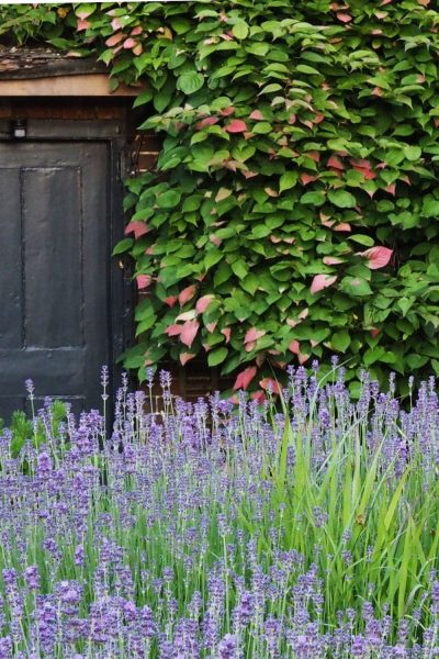When to cut back lavender
