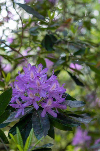 Pretty lilac rhododendron