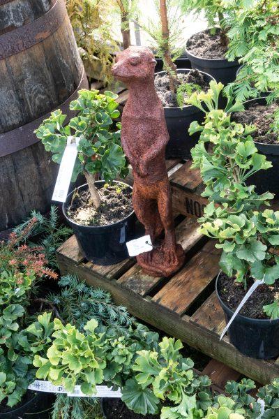 Gingko biloba from Limes Cross Nurseries