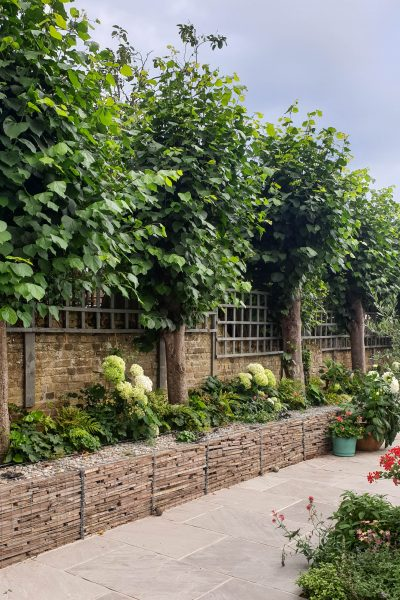 Growing hydrangeas in gabions