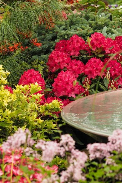Rhododendrons with azaleas and conifers