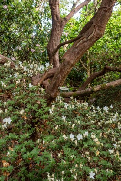 Scented rhododendrons