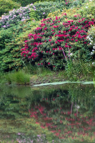 Rhododendron reflected in the lake