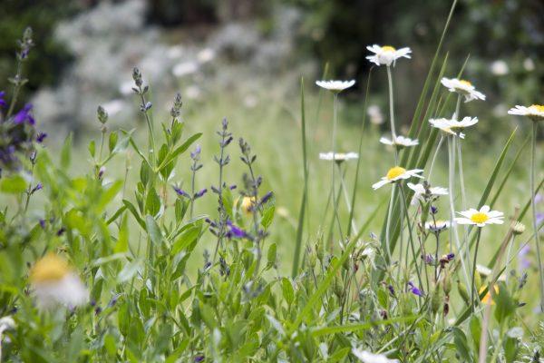 A spring meadow strip in a town garden