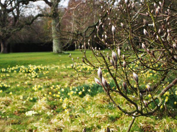Magnolia at Doddington Place