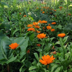 marigolds and rhubarb