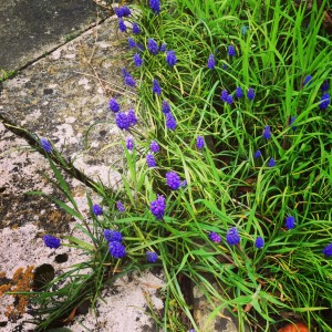 muscari beside a stone path