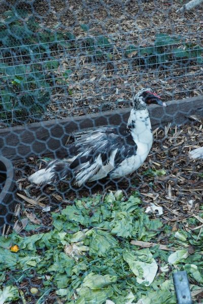 Feed leftovers to hens and ducks #sustainableliving #garden